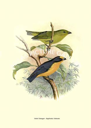 Violet Tanager - Euphonia Violacea